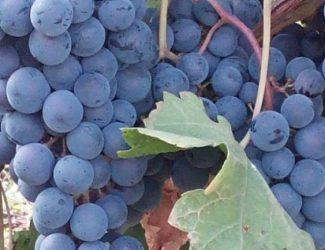 conseil viticulture vin vigneron viticole filière vin CIVB RSE environnement gestion management aides subvention FranceAgriMer PAC agriculture Florence Lamoureux FLAMCO